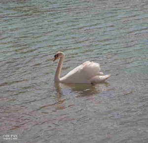 cisne en un lago