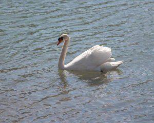 fotos de cisnes en el agua