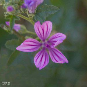 flores de color rosa de otoño